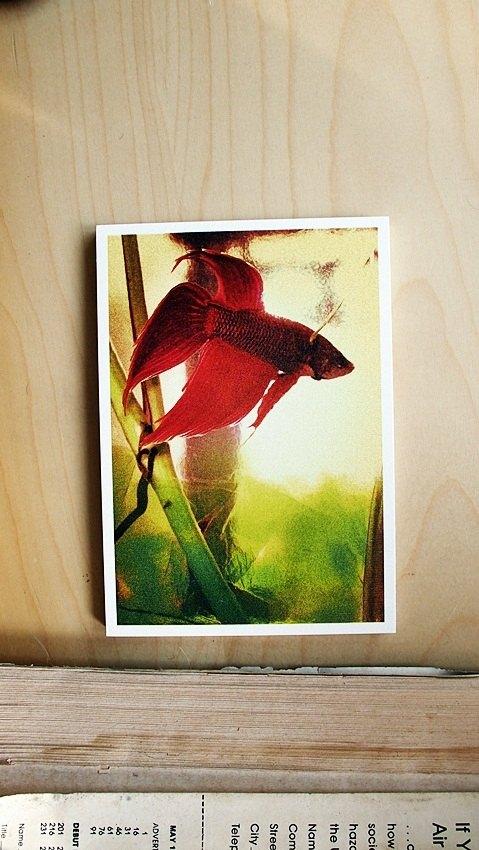 OldNew Lady-攝影明信片【紅色鬥魚】 M3