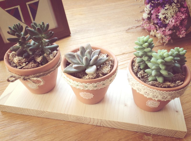 [Potted] healing department meat wedding small objects / welcome ceremony potted plants (five) (succulent) New Year gift