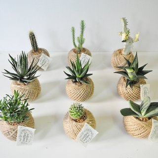 """Little warm"" succulents potted cactus creative small (single Sold)"