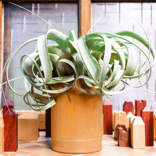 Bamboo smoke air plant - portrays King