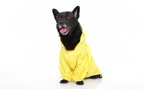 Paris Rainbow ~ waterproof raincoat dog function (tailored area) Sunshine yellow