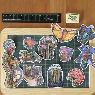 Anatomical organ waterproof sticker set