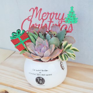 Peas succulents and small groceries - Christmas Edition - rural planting succulent combination