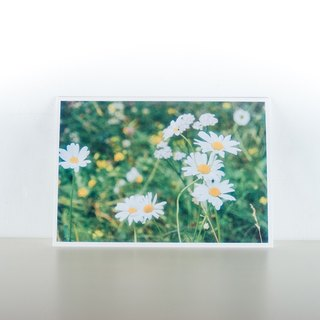 Photographic Postcard: Lawn daisy, Norge