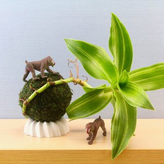 Forest Moss Ball - Big Leaf Jinzhu Grass with Limited Base