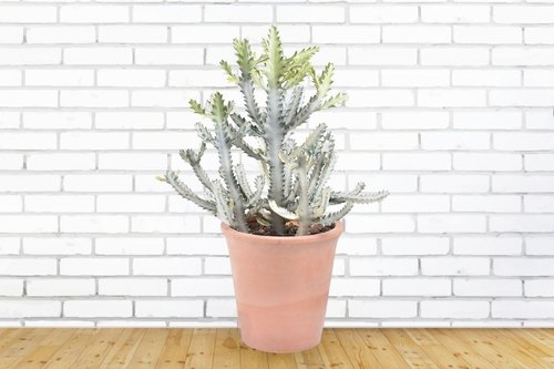 Large cactus | Imperial | promotion official home opening potted plants