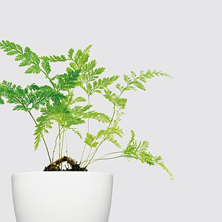 / Hydroponic potted plants / Rabbit foot ferns