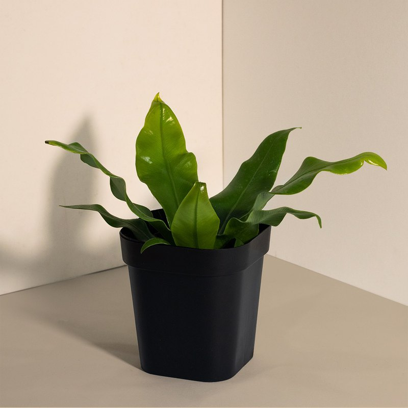 Nest fern Shansu _ Indoor Planting