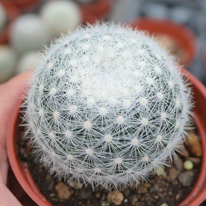 荳荳多肉植物與小雜貨-植物-望月