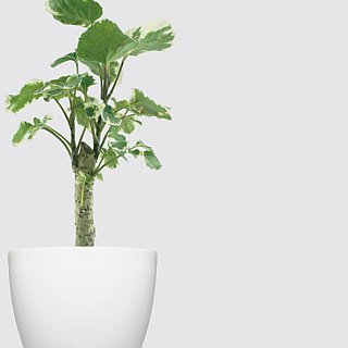 / Hydroponic potted plants / 斑叶福禄桐