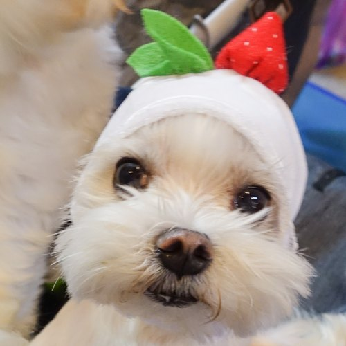 (White) Strawberry Taifu Pet Cats and Dogs Hat Hats * S No.