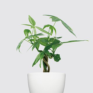 / Hydroponic potted / fortune tree