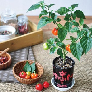 HOT KING Xin Wang Cultivation Set / Vana Chili