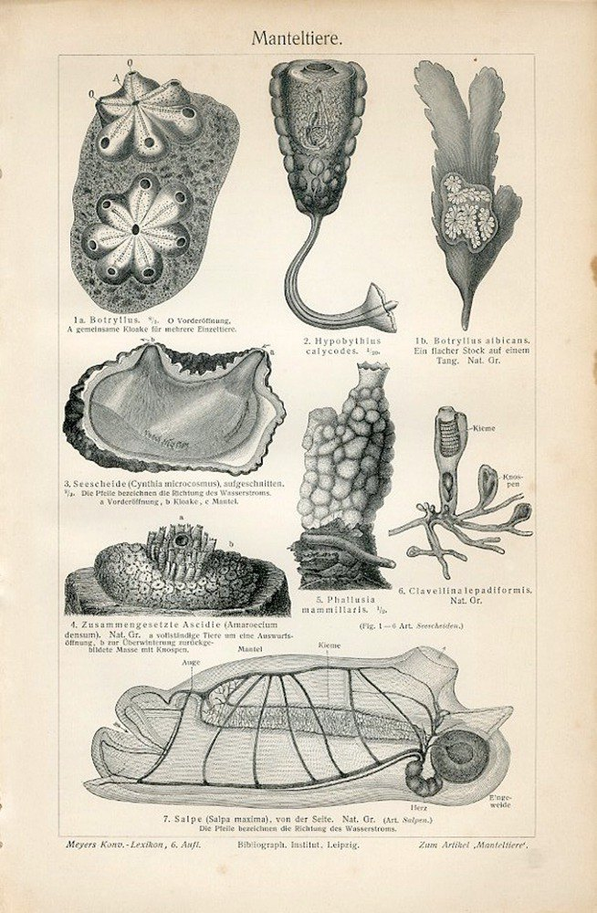1897 Sea squirt, shellfish tissue illustration
